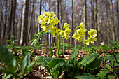 Cowslip in spring, Primula elatior, Hainich National Park, Thuringia, Germany, Europe
