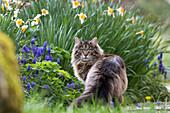 Hauskatze in Garten im Frühling, Bayern, Deutschland, Europa