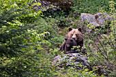 Brown Bear, mother with cub, Ursus arctos, Bavarian Forest National Park, Bavaria, Germany, captive