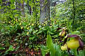 Frauenschuh im Wald, Cypripedium calceolus, Lichtenegg, Bayern, Deutschland