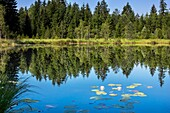 moor pond, Kochelsee-area, waterlillies, Nymphaea alba, mirror image, Upper Bavaria, Germany, Europe