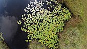 Waterlillies on pond, Nymphaea alba, Upper Bavaria, Germany