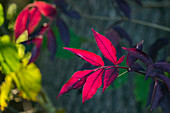 red leaves in autumn, Upper Bavaria, Germany, Europe