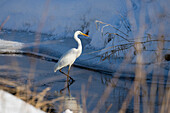 Great White Egret in winter, Egretta alba, Upper Bavaria, Germany, Europe