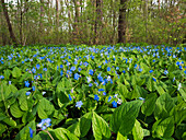 wild flowers, Omphalodes verna, deciduous forest, Bavaria, Germany, Europe