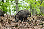 Wild boar, female with cubs, Sus scrofa, Germany, Europe