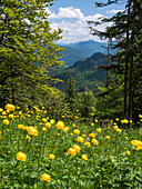 blooming meadow on Staffel mountain with globeflowers, Trollius europaeus, view direction southeast, Alps, Upper Bavaria, Germany, Europe