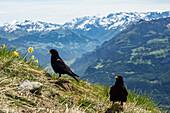 Alpendohlen, Pyrrhocorax graculus, Augstmatthorn, Alpen, Berner Oberland, Schweiz, Europa
