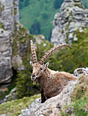Steinbock, Capra ibex, Berner Oberland, Alpen, Schweiz, Europa