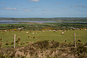 View over pastures with sheep to the Bay of Tralee seen from while walking the Dingle Way, Blennerville, near Tralee, Dingle Peninsula, County Kerry, Ireland, Europe