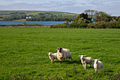 A sheep with three lambs on a green pasture along Slea Head Drive with the Atlantic Ocean behind seen from while walking the Dingle Way, Dingle, Dingle Peninsula, County Kerry, Ireland, Europe