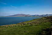Bay of Fahamore with green fields, sheep pastures and views of the Dingle Peninsula seen from while walking the Dingle Way, Ballydavid North, Brandon, Dingle Peninsula, County Kerry, Ireland, Europe