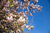 Magnolia Soulangeana flowers in white and pink on the tree with blue sky, Kassel, Hesse, Germany, Europe