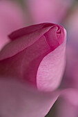 Close-up of a pink rose flower, Kassel, Hesse, Germany, Europe