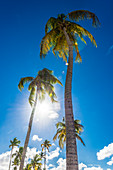 Palm trees against the light, San Juan, Puerto Rico, Caribbean, USA