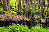 Ancient woodlands on the Darss peninsula in the Baltic Sea in summer, Mecklenburg-Western Pomerania, Germany, Europe