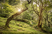 For Ireland rare piece of wood around Glendalough Monastic Site, County Wicklow, Ireland, Europe