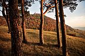 Blick durch Kiefer Bäume zur Burg Teck, Kirchheim Teck, Biosphärengebiet, Schwäbische Alb, Baden-Württemberg, Deutschland