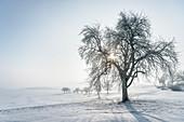 Sonne scheint durch Baum auf neblige Winter Landschaft bei Bopfingen, Ostalbkreis, Schwäbische Alb, Baden-Württemberg, Deutschland