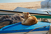 Cat on a fishing boat at the beach of Salema, Parque Natural do Sudoeste Alentejano e Costa Vicentina, Atlantic Ocean, District Faro, Region of Algarve, Portugal, Europe
