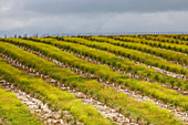 Young olive-tree plantation in spring near Moura, District Beja, Region of Alentejo, Portugal, Europe