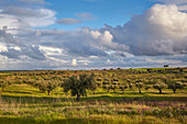 Meadow in bloom in an olive-tree plantation, Pedrógao, District Beja, Region of Alentejo, Portugal, Europe