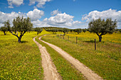 Meadow in bloom in an olive-tree plantation, Near Monsaraz, District Évora, Region of Alentejo, Portugal, Europe