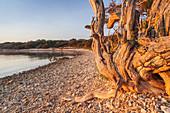 Baum am Strand bei Veli Rat auf der Insel Dugi Otok, Zadar, Norddalmatien, Dalmatien, Kroatien, Südeuropa, Europa