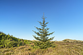 Spruce tree in the dunes of the North Frisian Island Amrum, Norddorf, North Sea, Schleswig-Holstein, Northern Germany, Germany, Europe