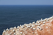 Bird cliff on the North Sea island Helgoland, Schleswig-Holstein, Northern Germany, Germany, Europe