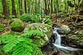 Bach fließt durch Wald, Nebelwald, Barranco del Cedro, El Cedro, Nationalpark Garajonay, La Gomera, Kanarische Inseln, Kanaren, Spanien