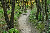 Weg durch Nebelwald im Nationalpark Garajonay, am Mirador del Morro de Agando, Nationalpark Garajonay, La Gomera, Kanarische Inseln, Kanaren, Spanien