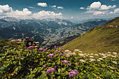 Adenostyles, Schruns, Tschagguns, Latschau, Vandans, Montafon, Bludenz District, Vorarlberg, Austria, Europe