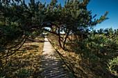Boardwalk and Pine Trees in Dunes at Darßer Ort, Fischland-Darß-Zingst, Mecklenburg-Vorpommern, Germany, Europe