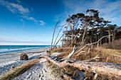 Bare Tree on beach, Forest, Weststrand, Fischland-Darß-Zingst, Mecklenburg-Vorpommern, Germany, Europe