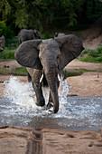 An elephant, Loxodonta africana, runs through water towards camera, ears facing forward, splashes around legs