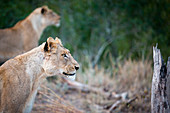 A side profile of a lioness sitting, Panthera leo, ears up, looking away, lion in background