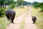 Eine Nashornmutter und ein Kalb, Ceratotherium simum, laufen mit dem Rücken zur Kamera eine Straße entlang