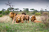 Male lions, Panthera leo, stand and lie together on green grass, looking away.