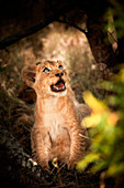 A lion cub, Panthera leo, sits down, looks away, open mouth.