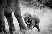 An elephant calf, Loxodonta africana, stands behind its mother's legs, curls its trunk in, in black and white.