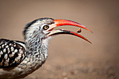Side profile of a southern red-billed hornbill, Tockus rufirostris, beak open with seed between, looking away