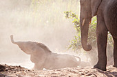 An elephant calf falls down a sandy bank, Loxodonta africana, trunk in the air, an older elephant stands in the foreground
