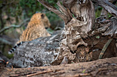 Two leopard cubs, Panthera pardus, alert, lying the hollow of a dead tree, mother leopard lying in background