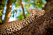 A leopard, Panthera pardus, lies in a tree, resting head on front leg, looking away, greenery in background