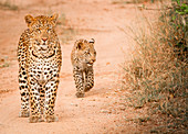 A mother leopard, Panthera pardus, stands on sand ground, cub follows behind her, looking away