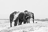 Three elephant, Loxodonta africana, stand on a sand bank, wet skin, spray sand with their trunk into the air, in black and white