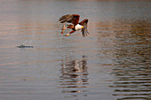 An African fish eagle, Haliaeetus Vocifer, flies over water, fish in its claw, splashes in water, looking away