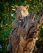 A leopard, Panthera pardus, lies on a dead branch, legs wrapped around log, alert, tongue out