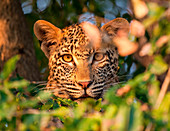 A leopard's head, Panthera pardus, alert, looking through leaves